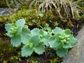 5月合歡山植物:穗花八寶