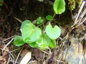 5月合歡山植物:雙黃花堇菜