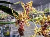 珍稀 原生蘭花 (圖鑑1):Dendrobium spectabile 大魔鬼