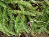 5月合歡山植物:假石松