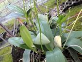 珍稀 原生蘭花 (圖鑑1):Phalaenopsis aphrodite Reichb.f. (大武山)台灣阿嬤
