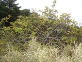 5月合歡山植物:巒大花揪