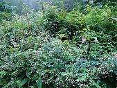 稍來山植物:臭節草