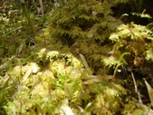 5月合歡山植物:plantman---羽蘚屬