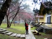 春の紅葉---惠蓀林場:小木屋の櫻花道