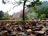 春の紅葉---惠蓀林場:落葉鋪地...剎是美麗
