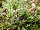 5月合歡山植物:美麗的苔蘚?