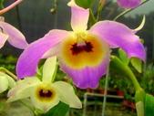 珍稀 原生蘭花 (圖鑑1):Den. findlayanum (眼斑)蜂腰石斛