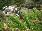 5月合歡山植物:台灣冷杉~雌毬花