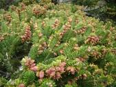 5月合歡山植物:台灣冷杉~雄毬花