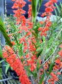 珍稀 原生蘭花 (圖鑑1):Dendrobium faciferum(深橘)