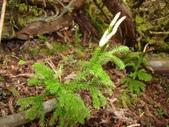 5月合歡山植物:玉柏