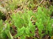 5月合歡山植物:杉葉蔓石松