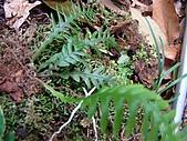稍來山植物:蒿蕨