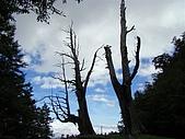 塔塔加植物:夫妻樹
