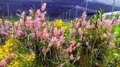 珍稀 原生蘭花 (圖鑑1):Ascocentrum christensonianum