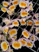 """珍稀 原生蘭花 (圖鑑1):Den. polyanthum """"Vietnam"""" (越南)黃貝殼石斛"""