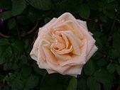 花語:玫瑰花2008