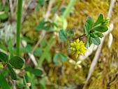 塔塔加植物: 黃菽草