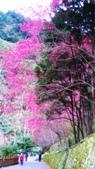 山櫻舞春風 IN 八仙山:DSC_0043.JPG