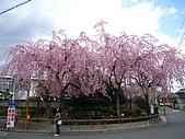2008關西春櫻D4:大佛鐵道紀念公園