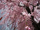 2008關西春櫻D4:粉色垂櫻