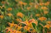 赤科山的金針花:IMGP5369.jpg