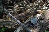 赤科山的金針花:IMGP5324.jpg