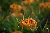 赤科山的金針花:IMGP5372.jpg