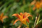 赤科山的金針花:IMGP5232.jpg