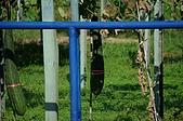赤科山的金針花:IMGP5258.jpg