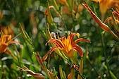 赤科山的金針花:IMGP5234.jpg
