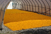 赤科山的金針花:IMGP5401.jpg