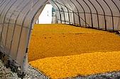 赤科山的金針花:IMGP5403.jpg