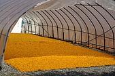 赤科山的金針花:IMGP5404.jpg