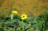 赤科山的金針花:IMGP5265.jpg