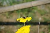 赤科山的金針花:IMGP5266.jpg