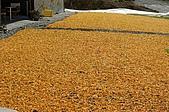 赤科山的金針花:IMGP5407.jpg