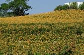 赤科山的金針花:IMGP5268.jpg