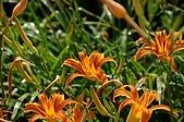 赤科山的金針花:IMGP5241.jpg