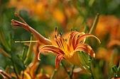 赤科山的金針花:IMGP5242.jpg