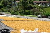 赤科山的金針花:IMGP5413.jpg