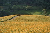 赤科山的金針花:IMGP5244.jpg
