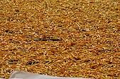 赤科山的金針花:IMGP5414.jpg