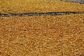 赤科山的金針花:IMGP5415.jpg