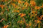 赤科山的金針花:IMGP5281.jpg