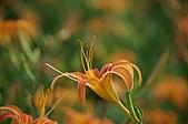 赤科山的金針花:IMGP5368.jpg
